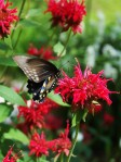 Bee Balm, Gloriadelia ©