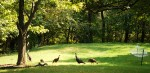 Turkeys passing by