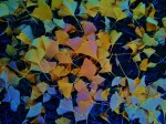 Ginko leaves, 2009