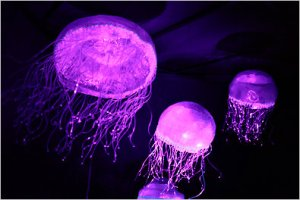 image credit: Hiroko Masuike, New York Times.  http://topics.nytimes.com/top/news/science/topics/jellyfish/index.html?inline=nyt-classifier